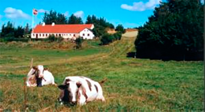 Jysk-Kvæg